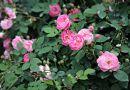 描写赞美蔷薇的诗句、古诗 适宜书画题词