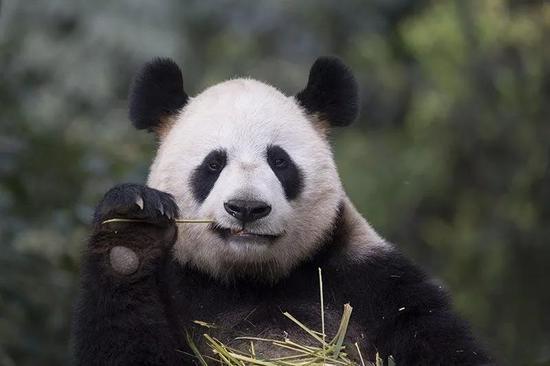 大熊猫是什么时候爱上竹子的