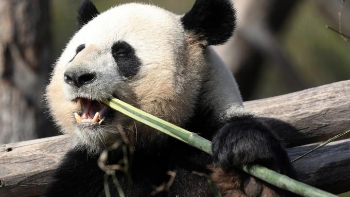 大熊猫竟是食肉动物!那为什么啃了这么多年竹子